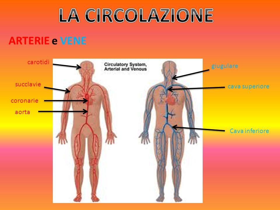 carotidi giugulare succlavie cava superiore coronarie aorta Cava inferiore
