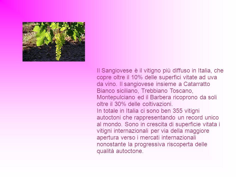 Il Sangiovese è il vitigno più diffuso in Italia, che copre oltre il 10% delle superfici vitate ad uva da vino.