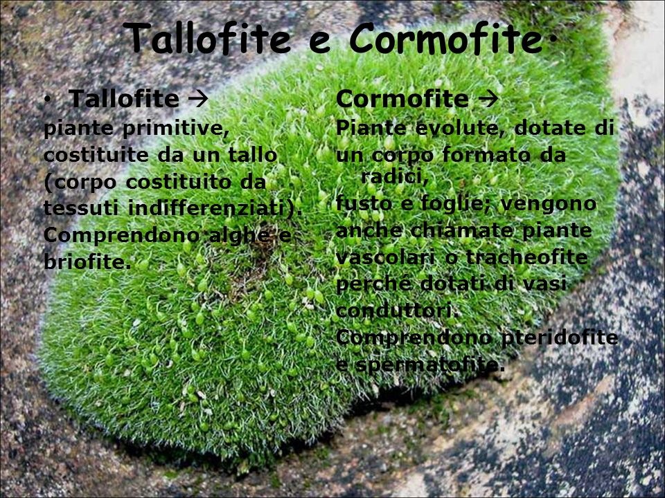 Tallofite e Cormofite. Tallofite  Cormofite  piante primitive,
