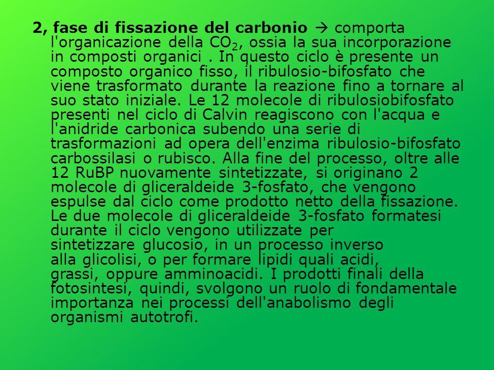 2, fase di fissazione del carbonio  comporta l organicazione della CO2, ossia la sua incorporazione in composti organici .