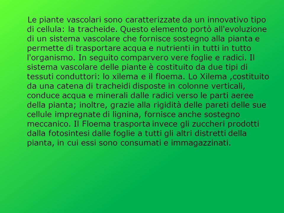Le piante vascolari sono caratterizzate da un innovativo tipo di cellula: la tracheide.
