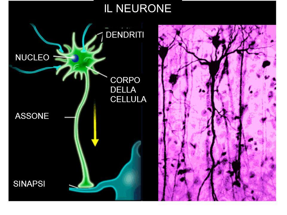 IL NEURONE DENDRITI NUCLEO CORPO DELLA CELLULA ASSONE SINAPSI