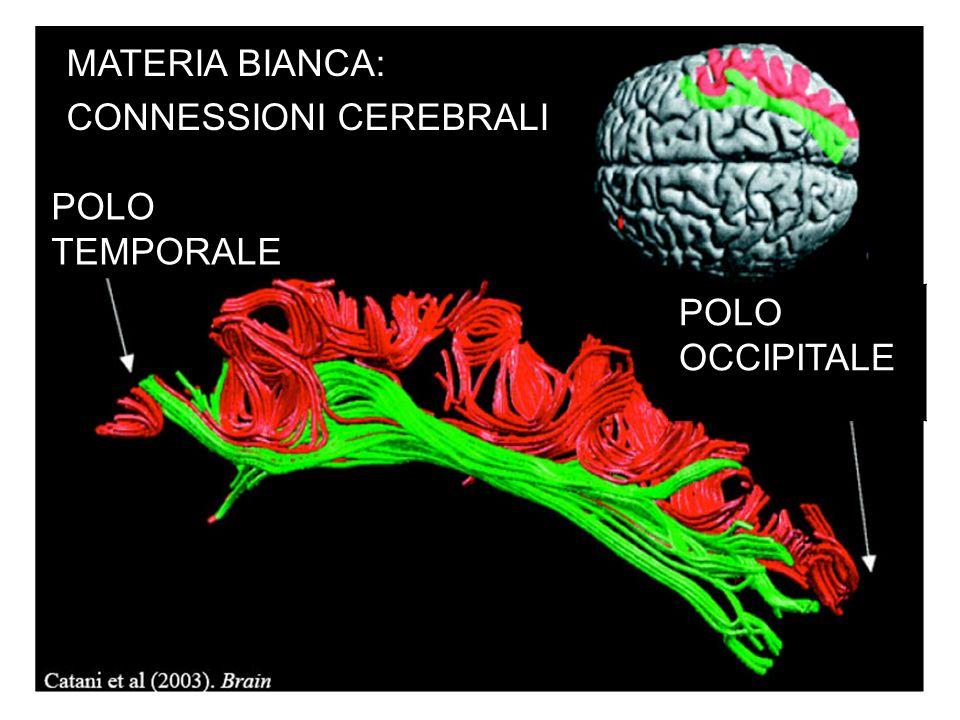 MATERIA BIANCA: CONNESSIONI CEREBRALI POLO TEMPORALE POLO OCCIPITALE