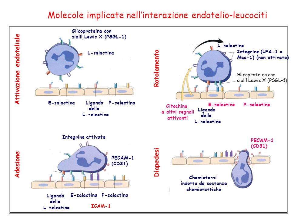 Molecole implicate nell'interazione endotelio-leucociti