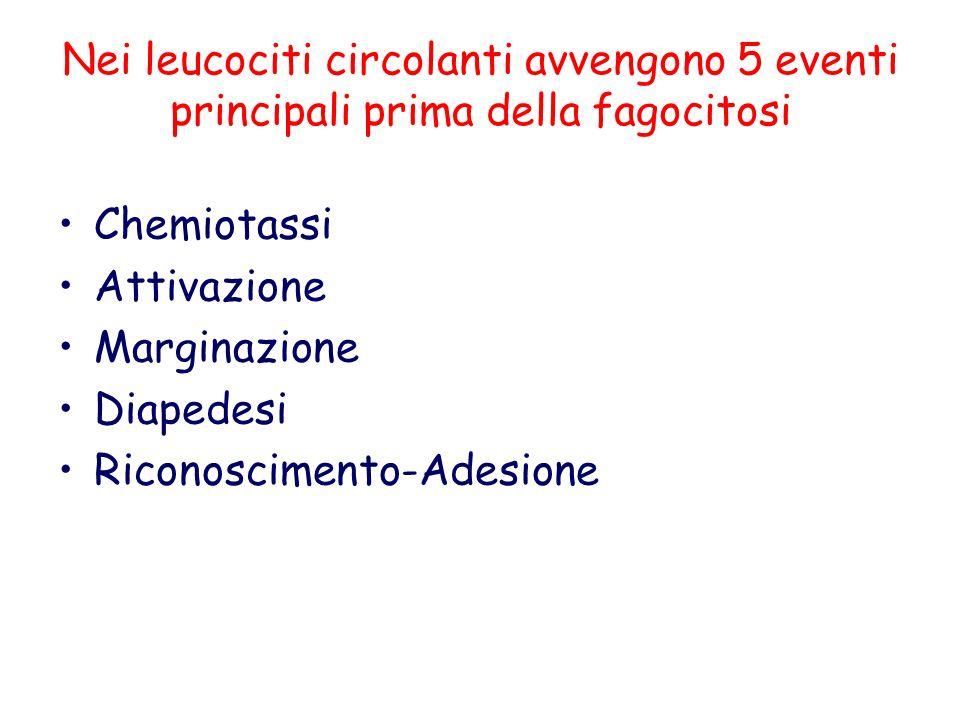Nei leucociti circolanti avvengono 5 eventi principali prima della fagocitosi
