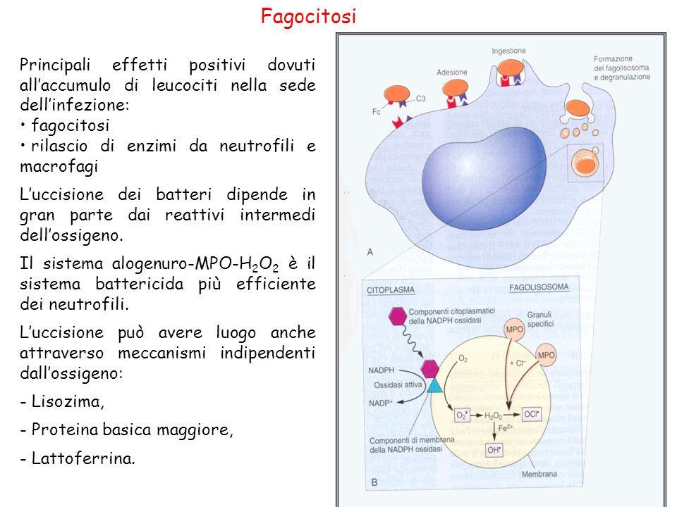Fagocitosi Principali effetti positivi dovuti all'accumulo di leucociti nella sede dell'infezione: fagocitosi.