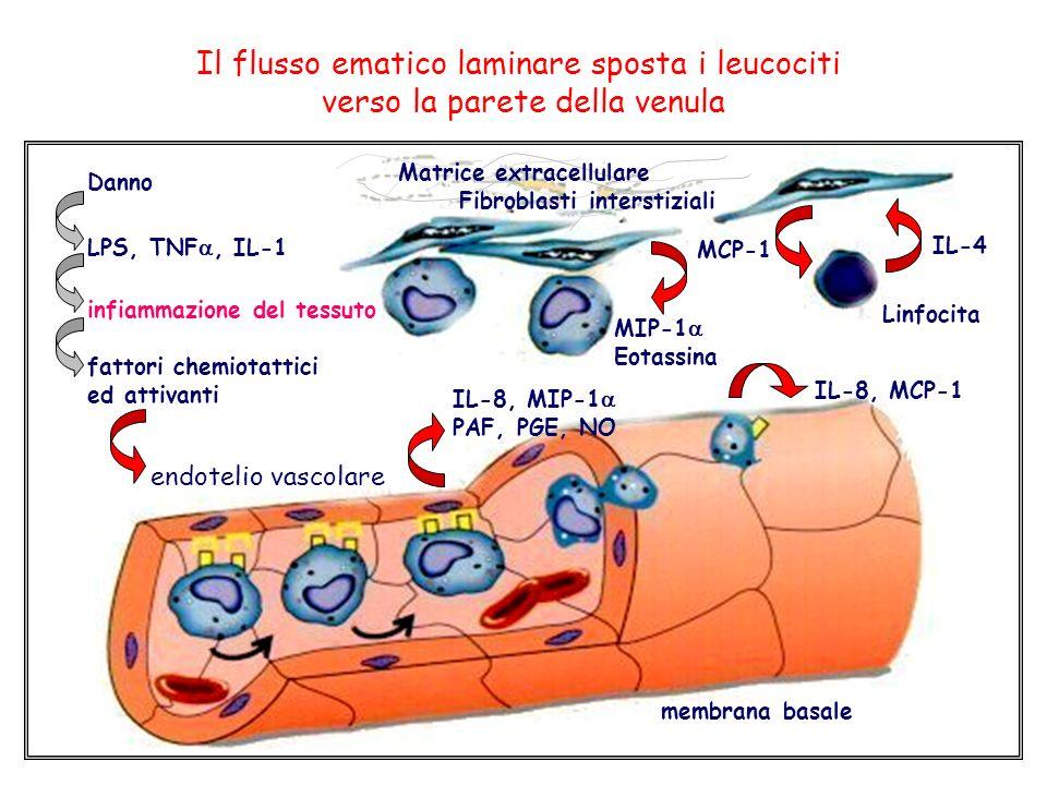 Il flusso ematico laminare sposta i leucociti
