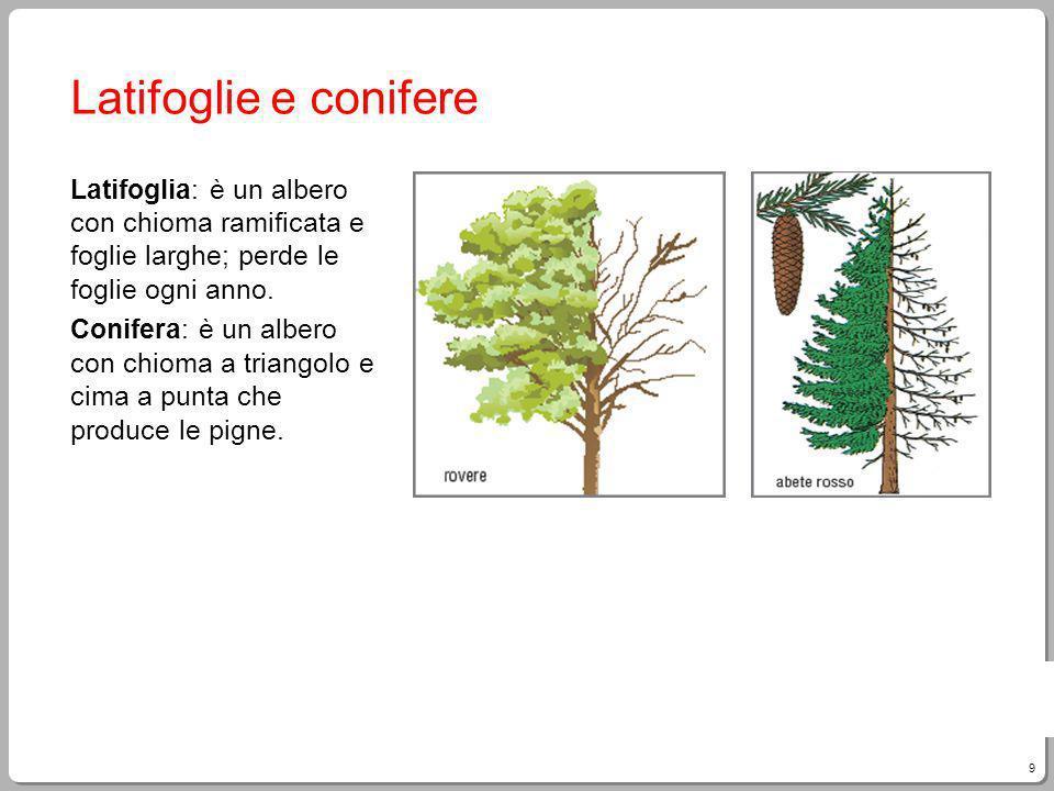 Latifoglie e conifere Latifoglia: è un albero con chioma ramificata e foglie larghe; perde le foglie ogni anno.
