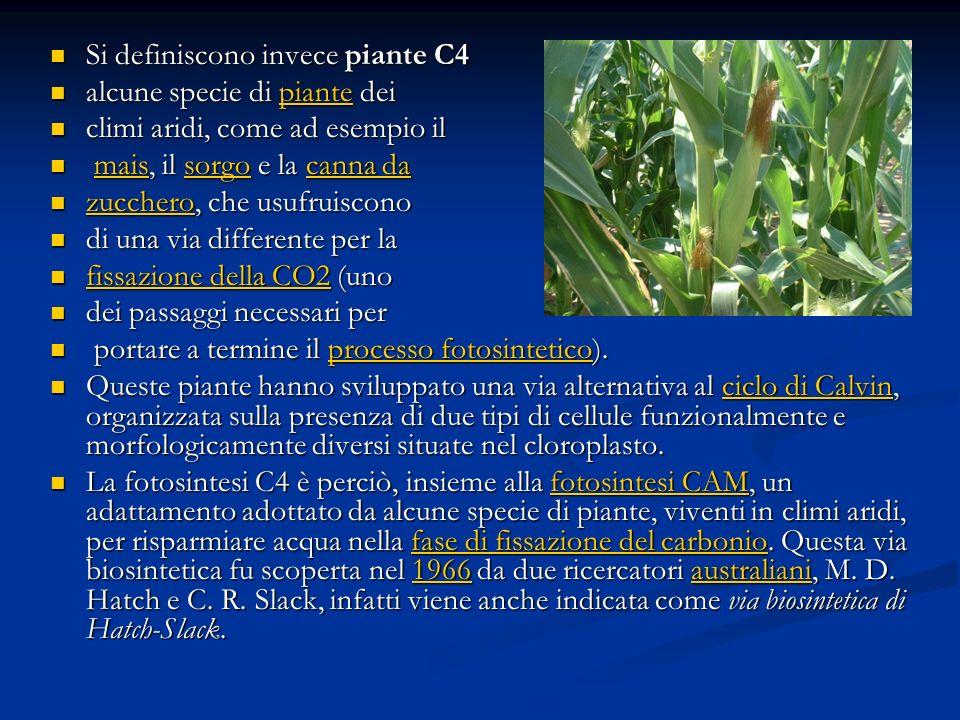 Si definiscono invece piante C4