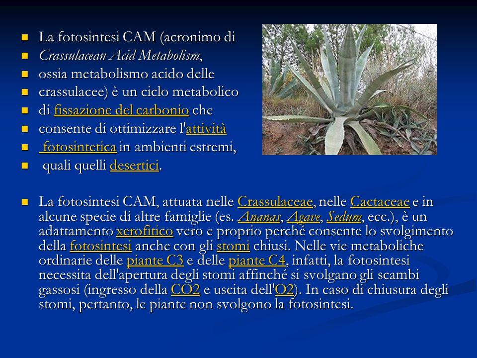 La fotosintesi CAM (acronimo di