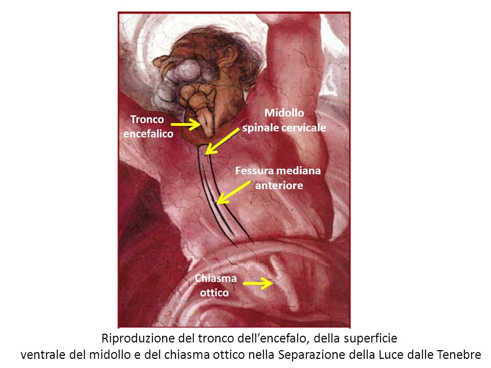 Riproduzione del tronco dell'encefalo, della superficie