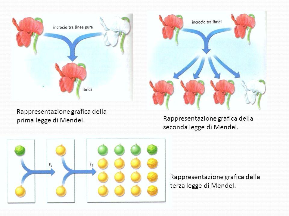 Rappresentazione grafica della prima legge di Mendel.