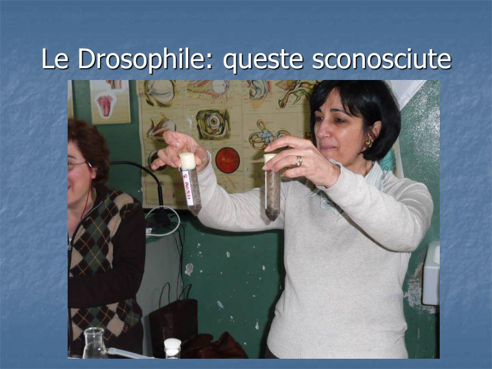 Le Drosophile: queste sconosciute