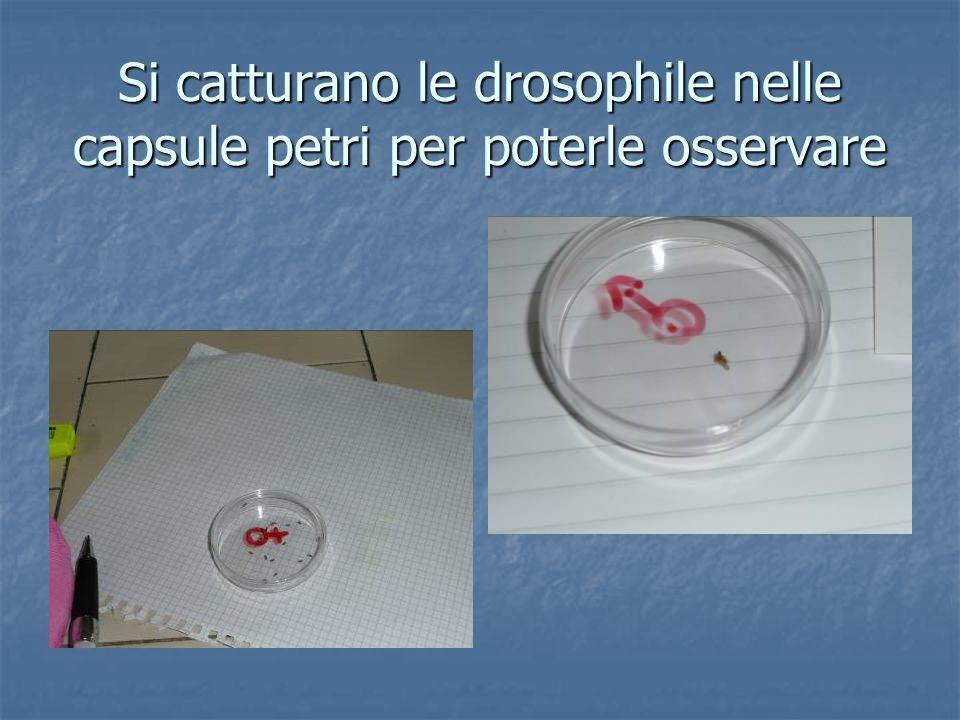 Si catturano le drosophile nelle capsule petri per poterle osservare