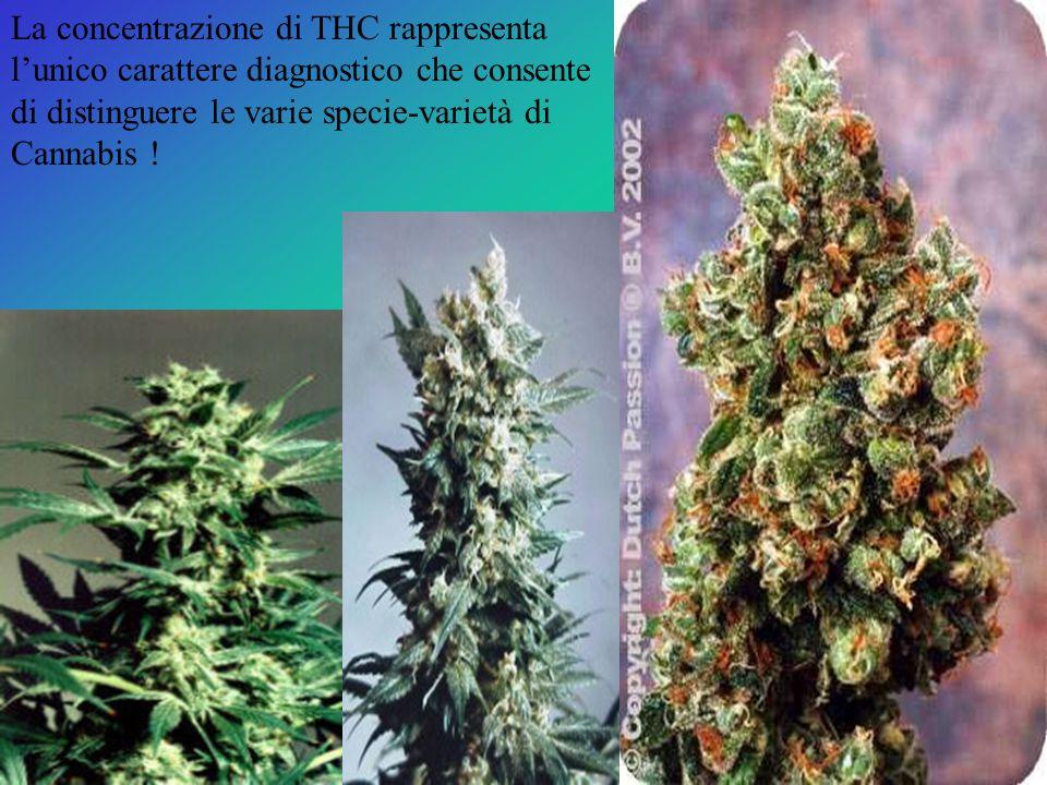 La concentrazione di THC rappresenta l'unico carattere diagnostico che consente di distinguere le varie specie-varietà di Cannabis !