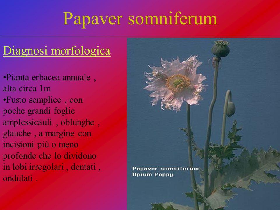 Papaver somniferum Diagnosi morfologica