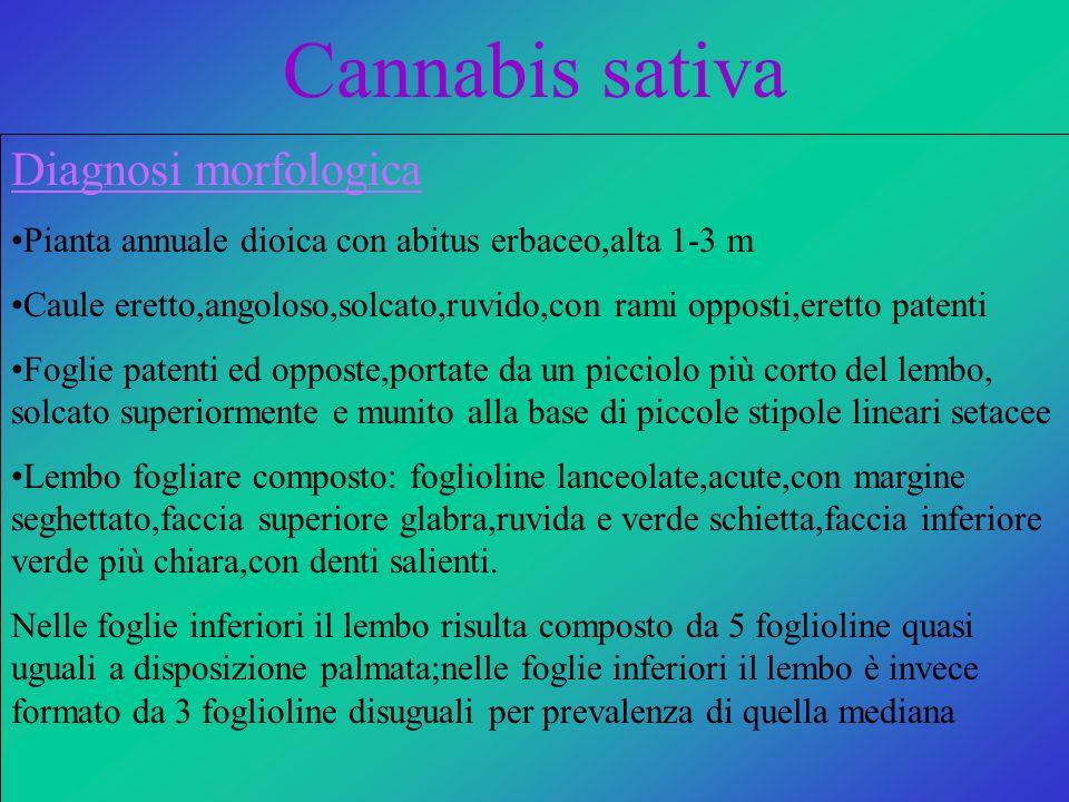 Cannabis sativa Diagnosi morfologica