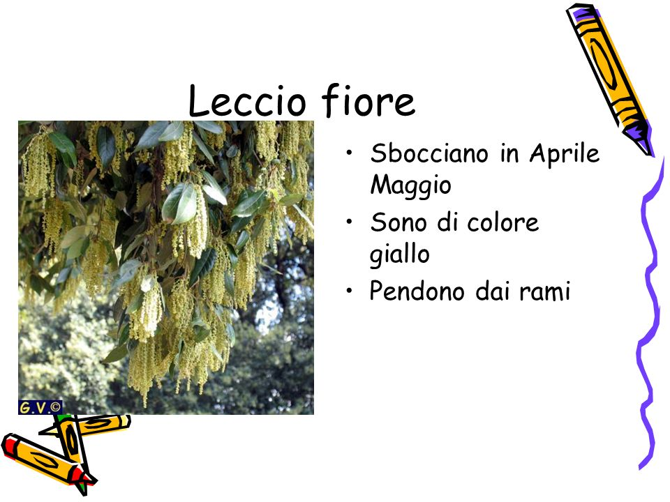 Leccio fiore Sbocciano in Aprile Maggio Sono di colore giallo
