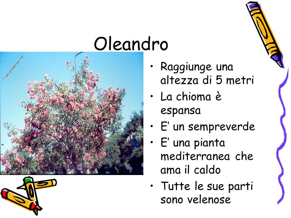 Oleandro Raggiunge una altezza di 5 metri La chioma è espansa