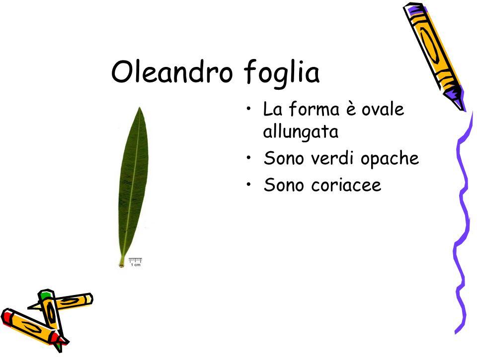 Oleandro foglia La forma è ovale allungata Sono verdi opache