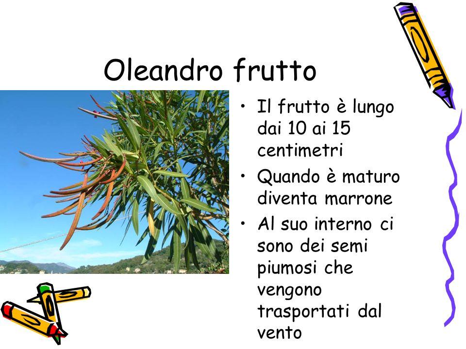 Oleandro frutto Il frutto è lungo dai 10 ai 15 centimetri
