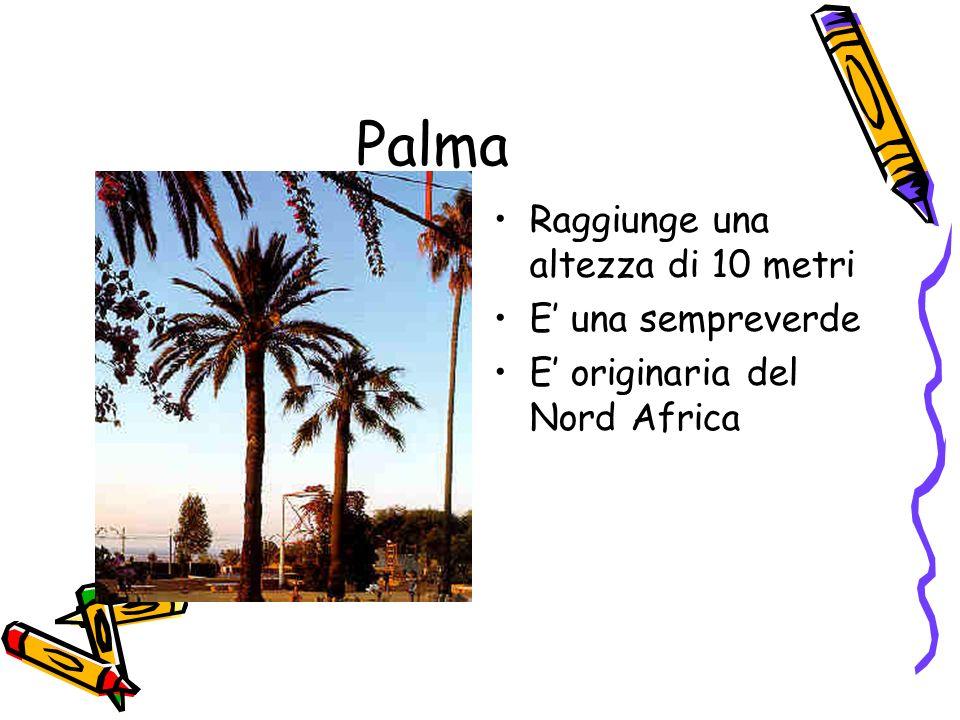 Palma Raggiunge una altezza di 10 metri E' una sempreverde