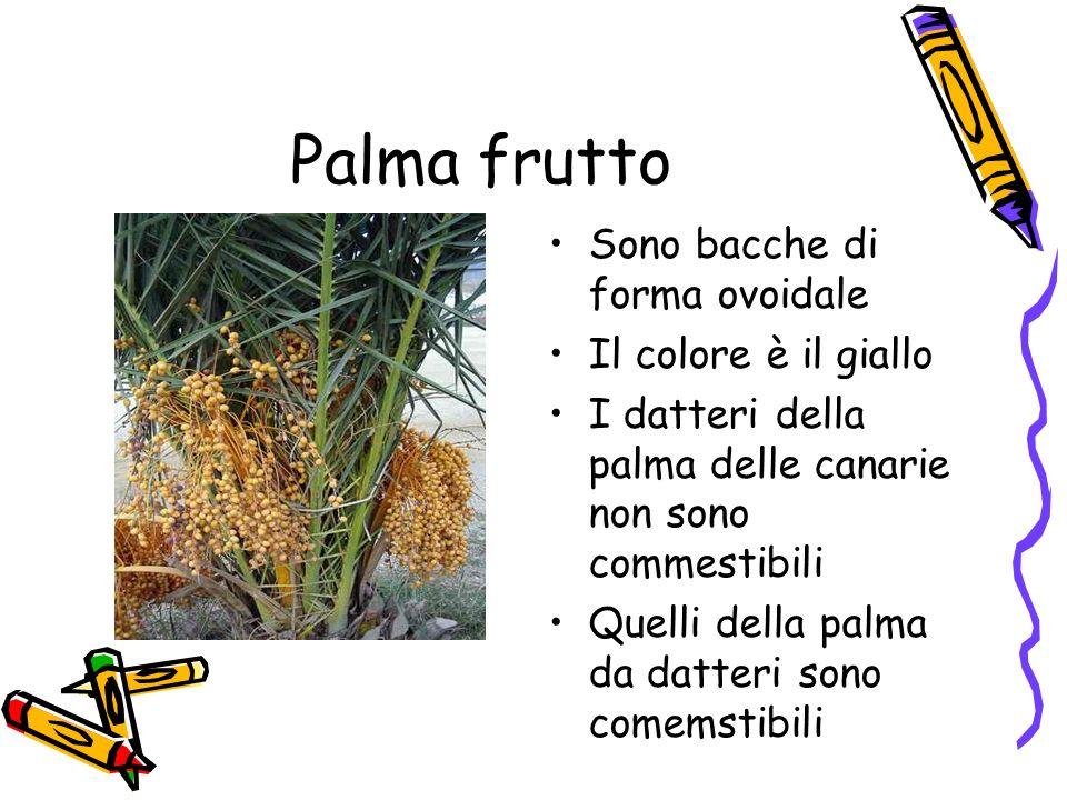 Palma frutto Sono bacche di forma ovoidale Il colore è il giallo
