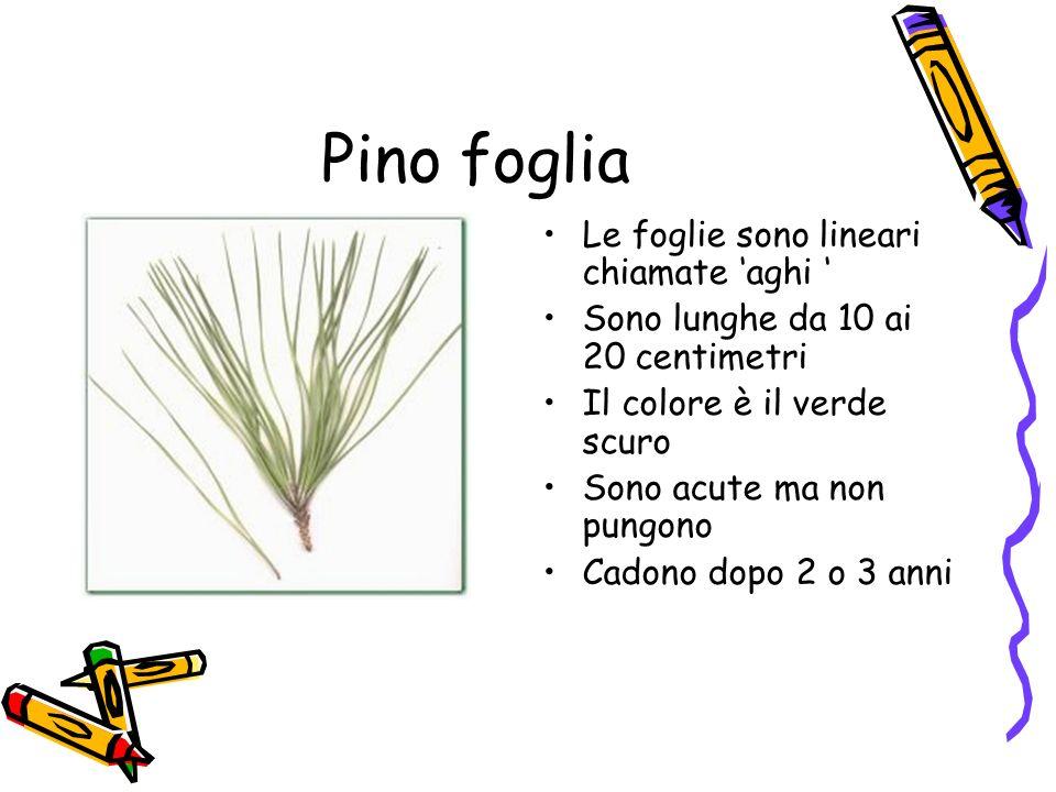 Pino foglia Le foglie sono lineari chiamate 'aghi '