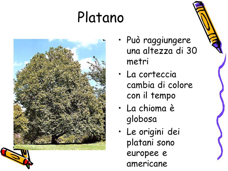 Platano Può raggiungere una altezza di 30 metri