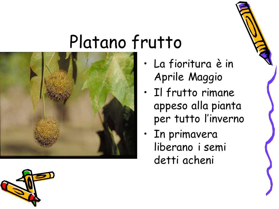 Platano frutto La fioritura è in Aprile Maggio
