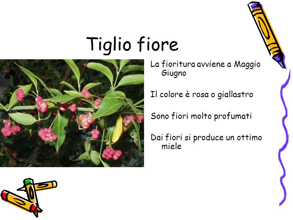 Tiglio fiore La fioritura avviene a Maggio Giugno