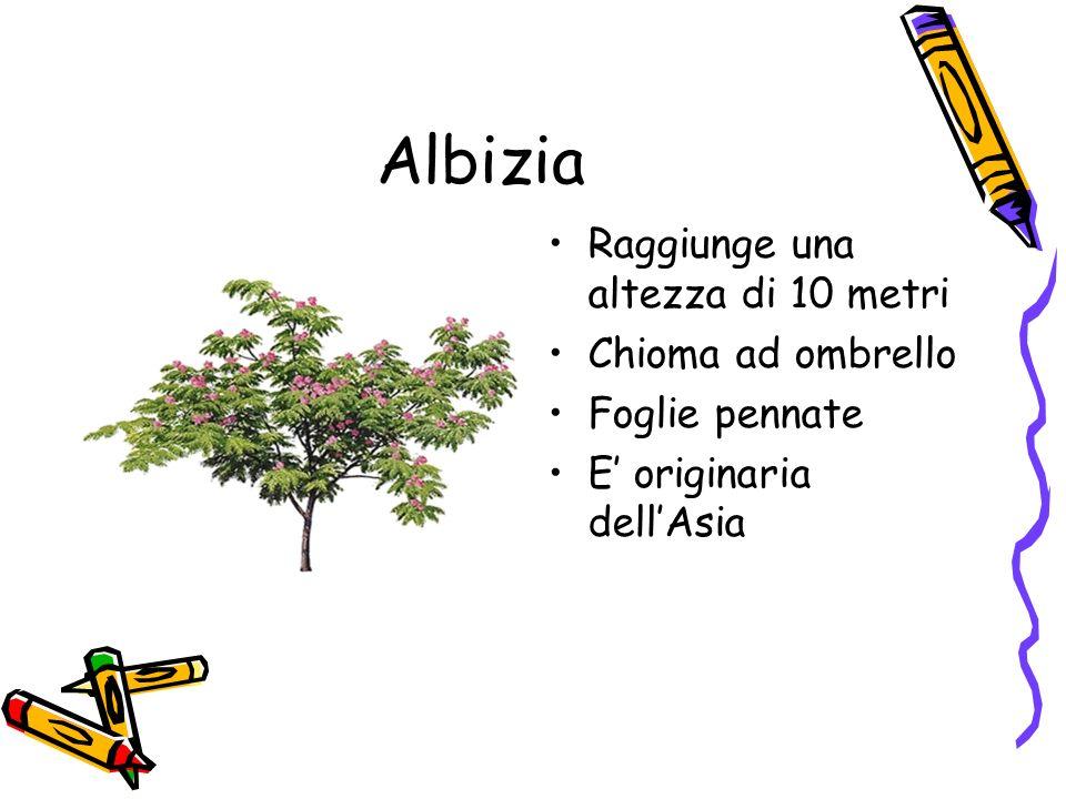 Albizia Raggiunge una altezza di 10 metri Chioma ad ombrello