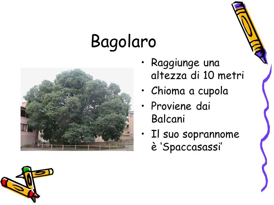 Bagolaro Raggiunge una altezza di 10 metri Chioma a cupola