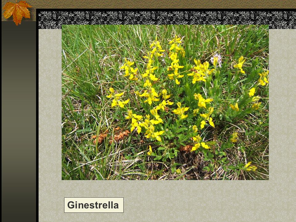 Ginestrella Nome scientifico/popolare: genista Famiglia : Papilionacee