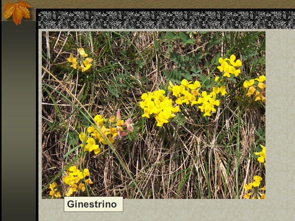 Ginestrino Nome scientifico/popolare : lotus alpino / citiso
