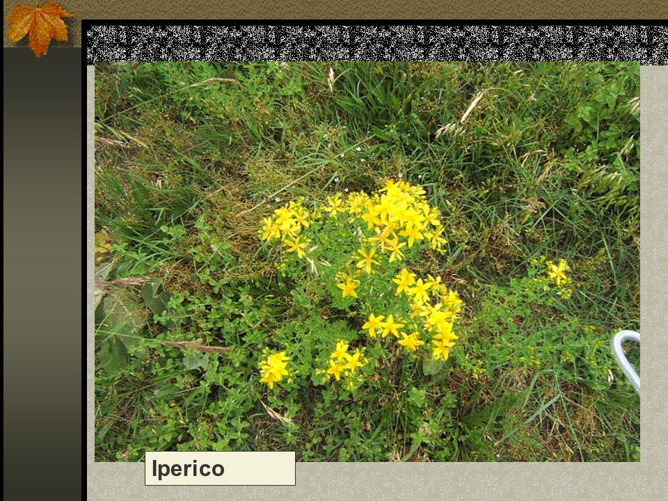 Iperico Nome scientifico/popolare: erba di S. Giovanni, cacciadiavoli