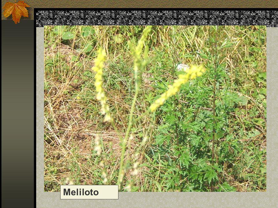 Meliloto Nome scientifico/popolare: melilotus altissima