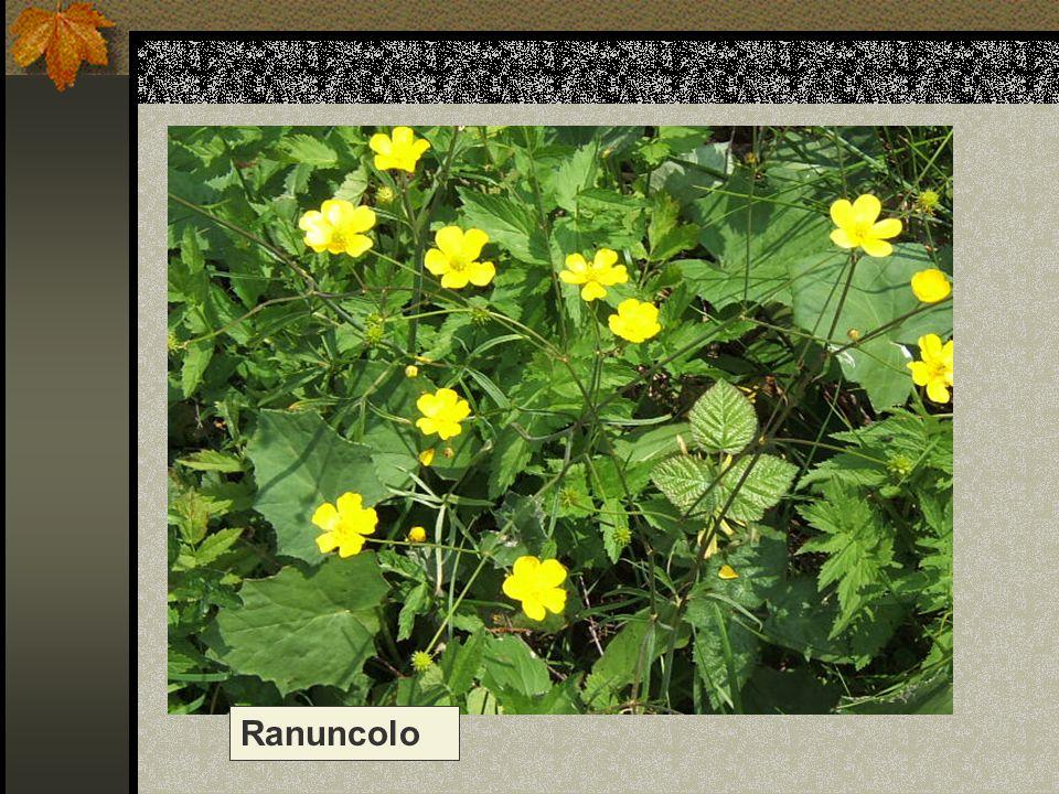 Ranuncolo Nome scientifico/popolare: ranuncolo acre/ r. selvatico