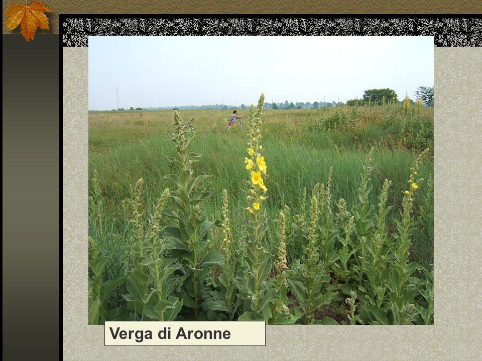 Verga di Aronne Nome scientifico/popolare: verbascum