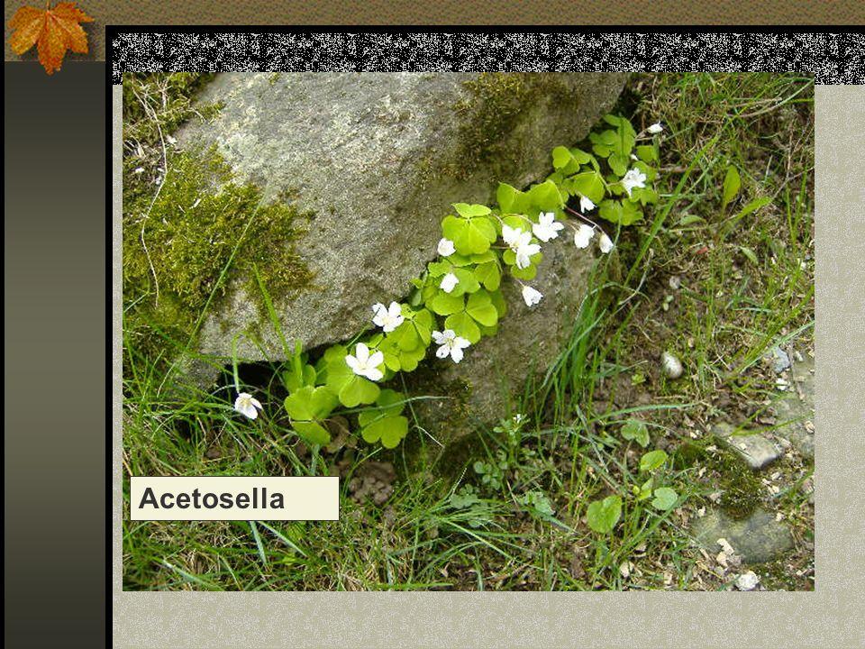 Acetosella Nome scientifico/popolare:oxalis corimbosa