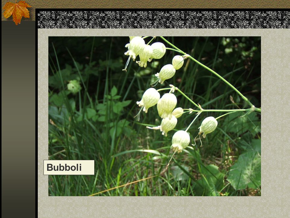 Bubboli Nome scientifico/popolare: silene vulgaris, strigoli