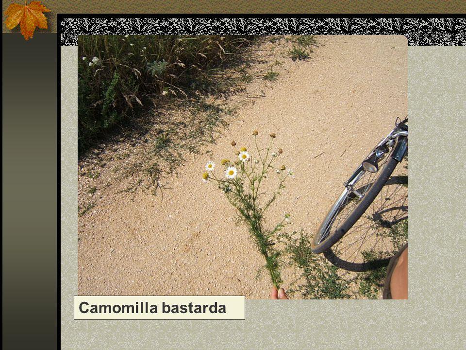 Camomilla bastarda Nome scientifico/popolare : anthemis arvensis