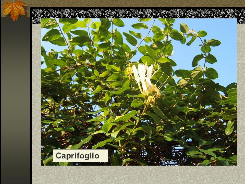 Nome scientifico/popolare : lonicera caprifolium / madreselva