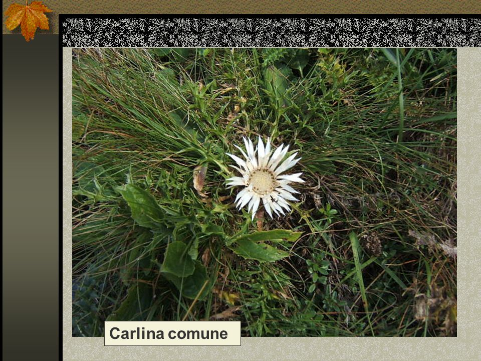 Carlina comune Nome scientifico/popolare : carlina vulgaris