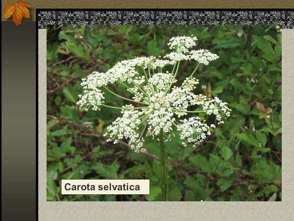 Carota selvatica Nome scientifico/popolare: daucus carota