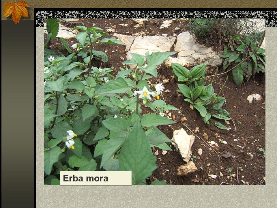 Erba mora Nome scientifico/popolare: solanum nigrum