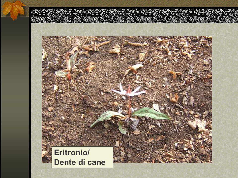 Eritronio/ Dente di cane