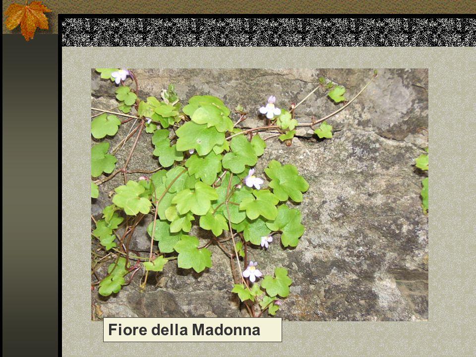 Fiore della Madonna Nome scientifico/popolare: cymbalaria muralis