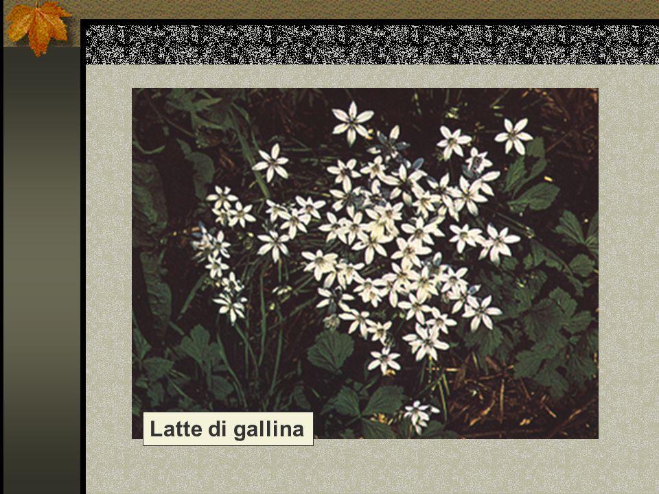 Latte di gallina Nome scientifico/popolare: ornithogalum umbrellatum