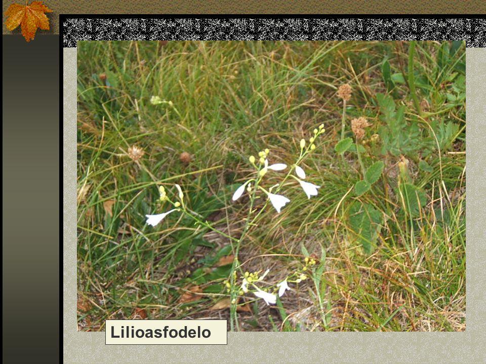 Lilioasfodelo Nome scientifico/popolare : anthericum liliago